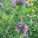 Котешка стъпка − Clinopodium Vulgare − как ни помага?