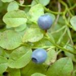 Черна боровинка – полезна не само за очите