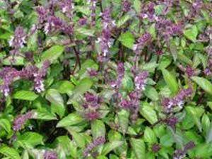 Herba-basilici