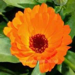Flores-Calendulae-officinal