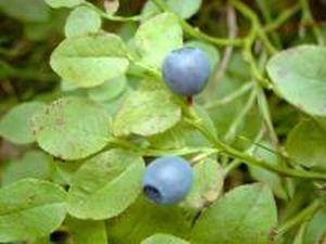 Folium Vacciniume myrtillus