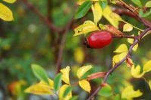 Fructus  Rosae canina L